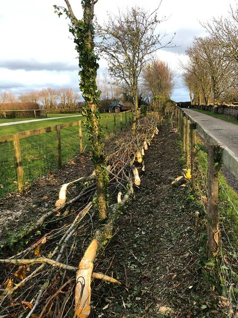 Hedge-laying-company-Weymouth-Dorchester-Dorset