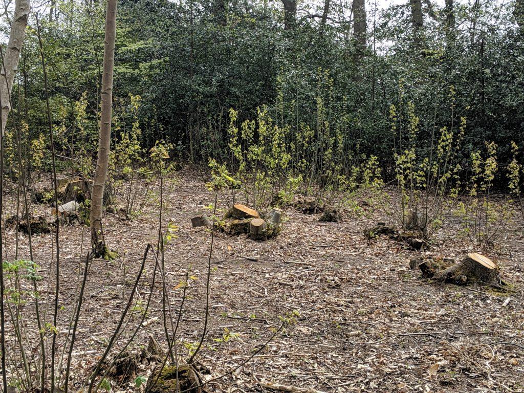 coppicing woodland management Weymouth Dorset